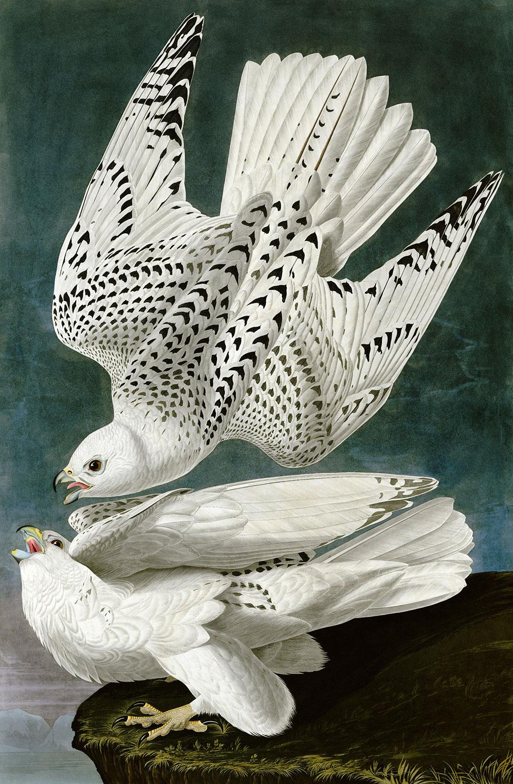 Two white gyrfalcons by Audubon.