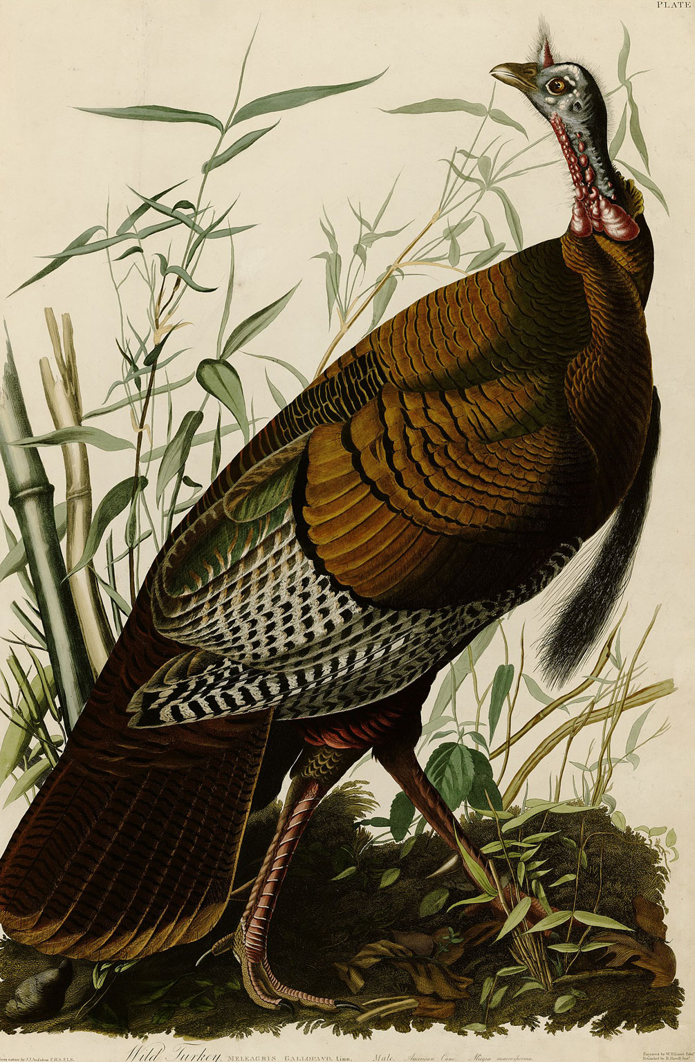 Plate 1 of The Birds of America by Audubon depicting a wild turkey.